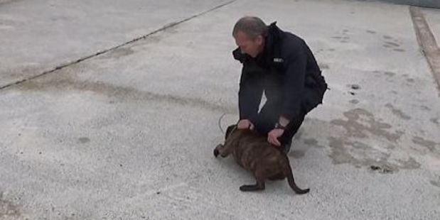 Police dog handler Stuart Davidson uses a technique known as an 'alpha roll' to pin Buster down. Photo / YouTube