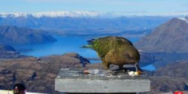Kea check the menu at Treble Cone skifield's outdoor cafe. Photo / Otago Daily Times, Mark Price