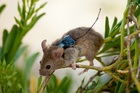 A mouse, fitted with a transmitter, that was tracked as part of a study on an island off the coast of Mexico. Photo / GECI