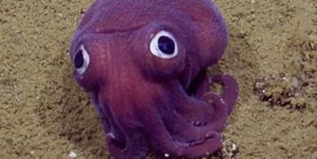 Loading The stubby squid (Rossia pacifica) looks like a cross between an octopus and squid. Photo / YouTube