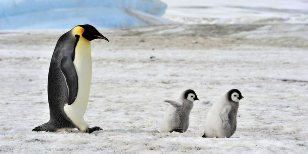 Guests take guided tours in the hopes of encountering Emperor penguins. Photo / 123RF