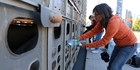 Anita Krajnc gives water to pigs being trucked to a Canadian slaughterhouse.