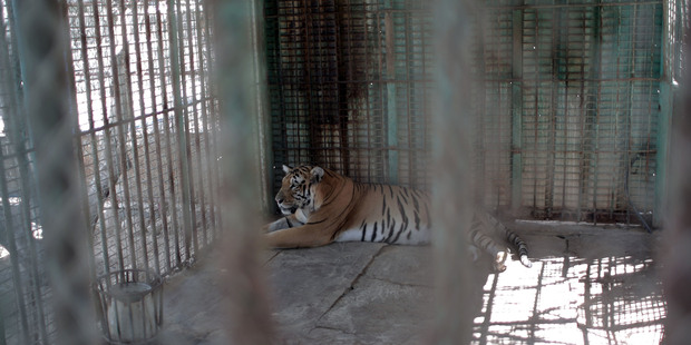 Gaza's tiger in a metal cage in a zoo in Khan Younis. The tiger is heading for a better life. Photo / AP