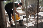 A Palestinian man fills water for an Emu to drink inside a metal cage in a zoo in Khan Younis, southern Gaza Strip. Photo / AP
