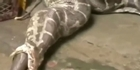 Watch: Watch: Killer python regurgitates entire antelope