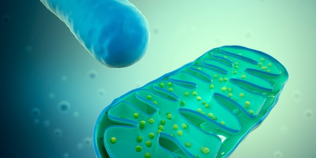 Mitochondria are tiny, specialised sub-units of cells that regulate cell metabolism. Picture / Getty Images