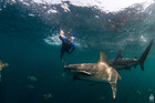 Swiss adventurer Mike Horn, pictured diving with sharks on a previous expedition. Photo: Supplied