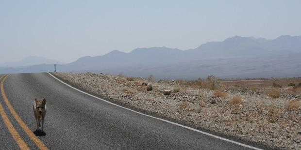 A coyote in Death Valley. Photo / Grandjean Seb, Flickr