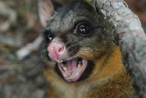 PEST: The debate over how to control possums continues.