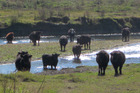 Cattle in the Ngaruroro River, downstream from the Chesterhope Bridge, Pakowhai.