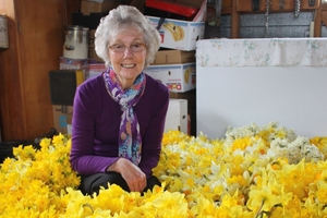 Shirley Walker, the Tararua field officer for the Cancer Society, surrounded by hundreds of daffodils in her garage. She is hoping the golden daffodils will be blooming again for pickers this week. Photo / Christine McKay