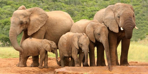In recent decades, poaching has added a devastating new threat to elephant numbers. Photo / 123RF