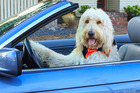 Atta-boy! Dogs understand both the meaning of words and the intonation used to speak them. Photo / Getty Images