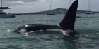 Watch: Orca put on show