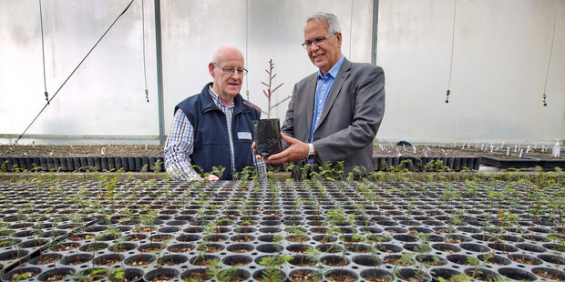 Loading Russell Burton, manger research and investments at Scion, left, and Ian Hulton, director of Ngati Whare Holdings Ltd examine some of the native trees being propagated at Scion. Photo / Alan Gibson