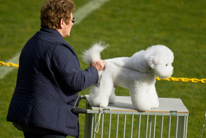 Shirley Rolfe with her Bichon Frise 'Image' Rotorua Kennel Association Annual Conformation Dog Show. Photo/ Stephen Parker