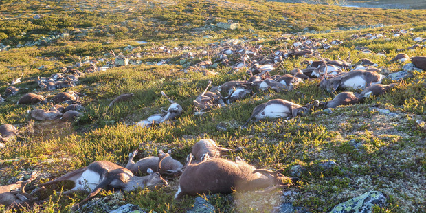 Lightning strike kills more than 300 wild reindeer in Norway