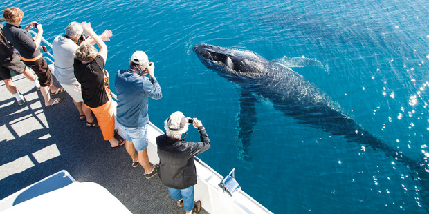 Whale watching at Hervey Bay. Photo / Tourism and Events Queensland