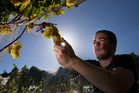 Ben Duckmanton picks chardonnay grapes, during harvesting at Villa Maria winery vineyard. Photo: Brett Phibbs