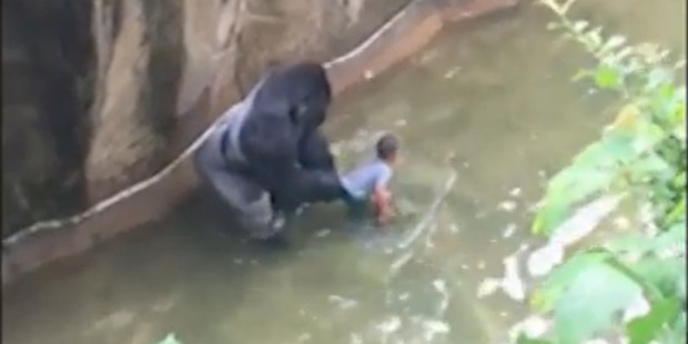 Harambe the silverback gorilla stands over the boy that crawled into his enclosure. Photo / WLWT