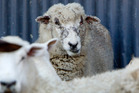 A sheep in the early stages of facial eczema.