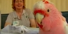 Watch: Watch: Cookie the 83 year old Cockatoo dies in Chicago