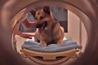 Scientists in Hungary say they have evidence showing that dogs understand at least some of what humans are saying. Researchers scanned brains of dogs as their owners spoke to determine what part of their brain they were using