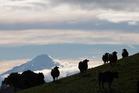 Cows on a dairy farm that supplies milk to Fonterra, with Mount Taranaki in the distance. Photo / Brendon O'Hagan