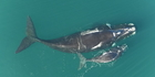 Drones were used to capture these images of Southern right whales near the sub-antarctic Auckland Islands. Photo: supplied