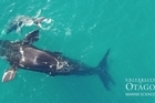 This drone footage of right whales was taken during a recent University of Otago expedition to the Auckland Islands.