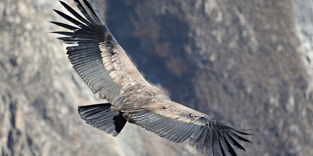An Andean condor flying in the Colca Canyon. Photo / 123RF