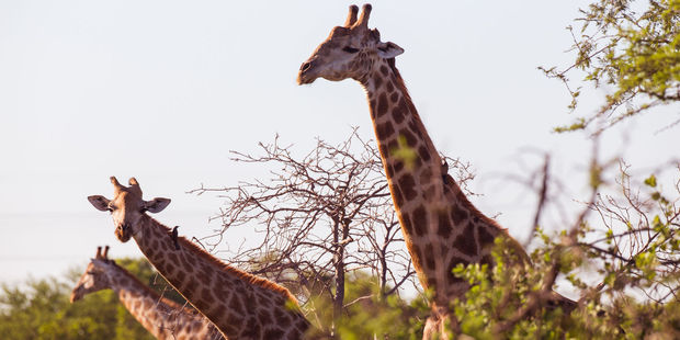Three giraffes sticking their necks out. Photo / 123RF