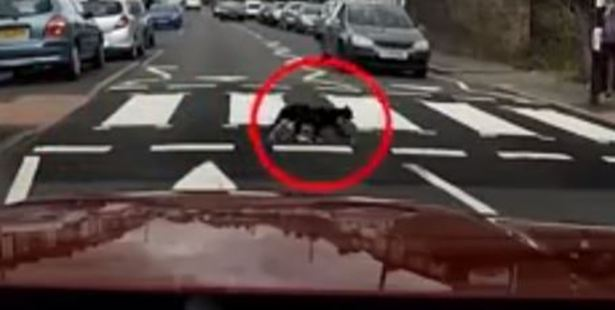 """The cat had """"obviously done that before"""" said driver Justin Scrutton. Photo / YouTube."""