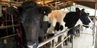 Watch NZH Focus: Dairy prices to go up