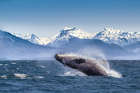 Whale of a time: See humpbacks breaching in Glacier Bay on an Alaskan cruise. Photo / Getty Images