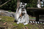 A ring-tail lemur holds its newborn after its birth at the weekend boosted the animal's numbers to 12 at Hamilton Zoo. Photo / Hamilton Zoo