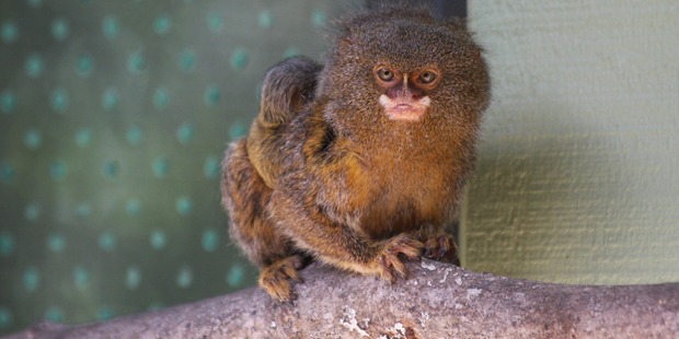 A baby pygmy marmoset - one of the smallest monkeys in the world - chills out after being born at Hamilton Zoo at the weekend. Photo / Hamilton Zoo