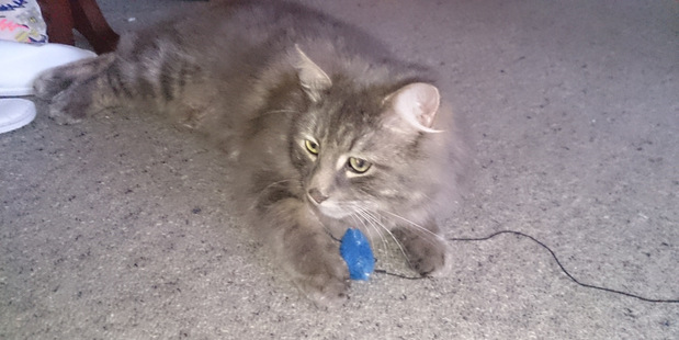 CHARACTER: Pebbles is one of three cats missing from a Whanganui home and the owner is asking for help to find out what has happened to them.