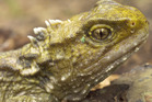 More research is urgently needed to assess how climate change will affect vulnerable species like New Zealand's tuatara, scientists say. Photo: File