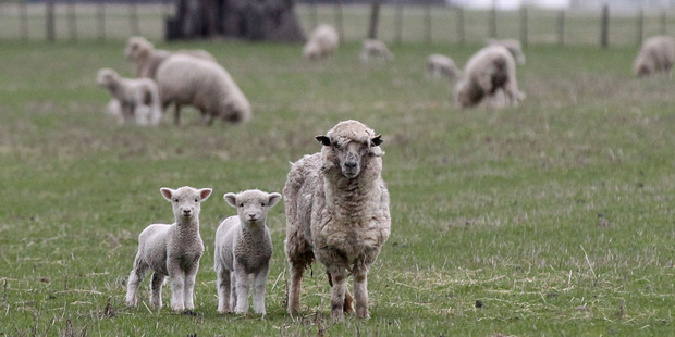 A mother keeping a close eye on her twin lambs as a cold front moves in today. Photo / Duncan Brown
