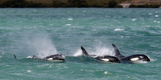A pod of orca chases stringrays in Whangarei Harbour yesterday. Photo / Michael Cunningham