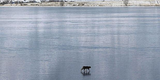 Is it a panther - or just a really big wild cat? This creature was snapped on the frozen surface of Lake Clearwater. Photo / Michael O'Neill