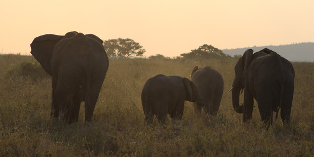 Elephants at sunset in Serengeti National Park. Photo / Sophie Muir