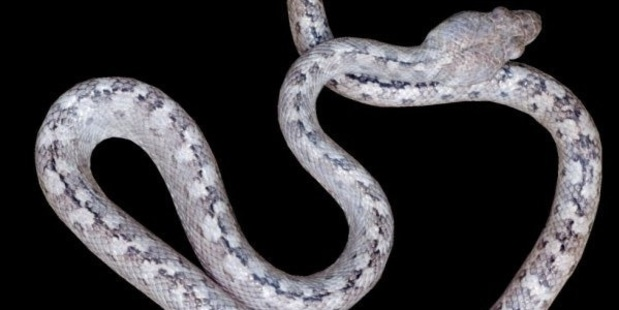 """Scientists have just discovered in Madagascar the newly-discovered Madagascarophis lolo, or """"ghost snake"""". Credit: Sara Ruane, Louisiana State University"""