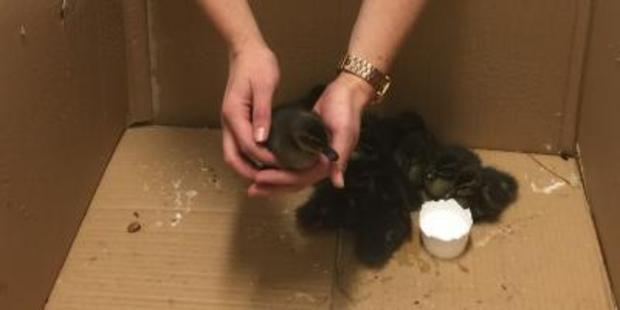 Constable Sophie Gannon said that the station was excited to gave a box of ducklings. Photo / Supplied