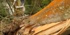 Hacked trees anger Rotorua activist