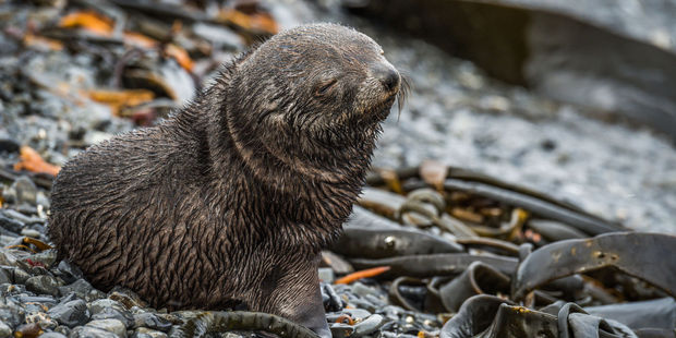 A young fur seal. Photo / 123RF