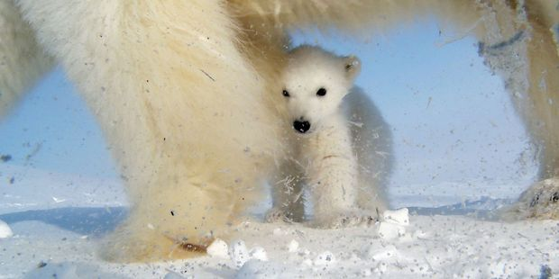 "A team of Russian weather experts claim that their station on an ice-covered Arctic isle is ""besieged"" by polar bears."