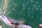 Shocking video of a Hector's dolphin caught in fishing nets during normal fishing operations