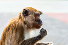 Irascible monkeys are responsible for a number of off-the-wall claims by travelling Kiwis. Photo / File